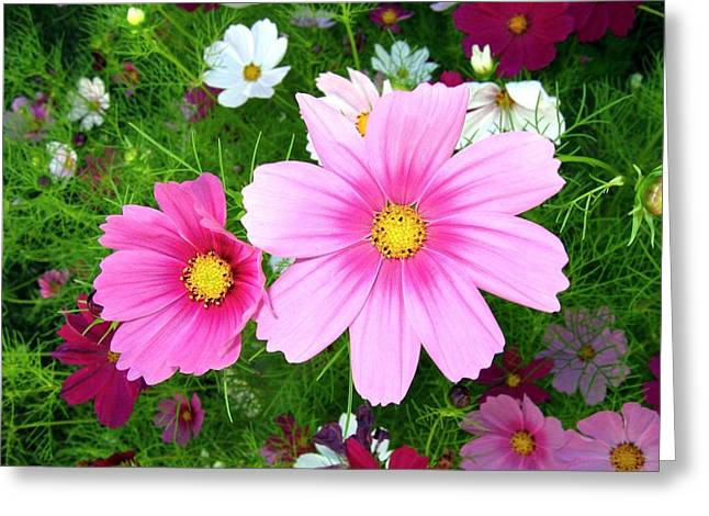 Early Autumn Greeting Cards - Cosmos Garden Greeting Card by Will Borden