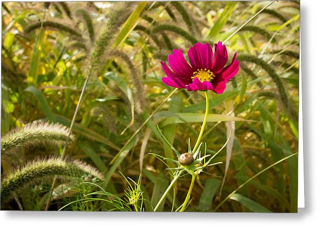 Wisconsin Wildflowers Greeting Cards - Cosmos in the Weeds Greeting Card by Bill Pevlor