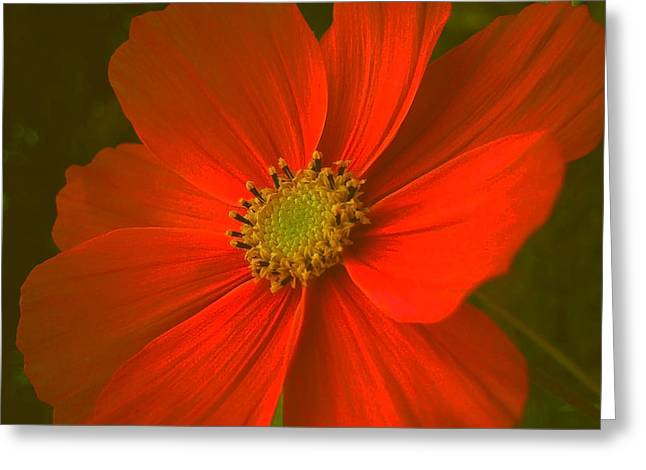 Fruehling Greeting Cards - Cosmos Greeting Card by Juergen Weiss