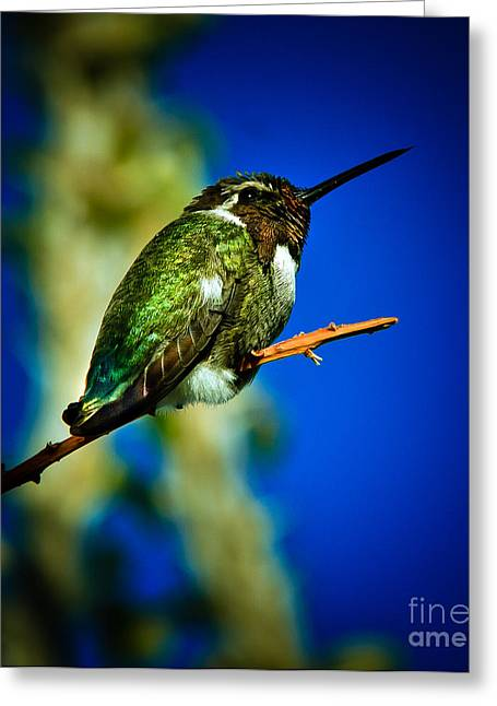 Haybales Greeting Cards - Costas Hummingbird Greeting Card by Robert Bales