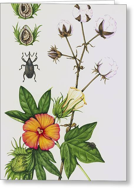 Boll Greeting Cards - Cotton Boll Weevil And Cotton Plant Greeting Card by Lizzie Harper