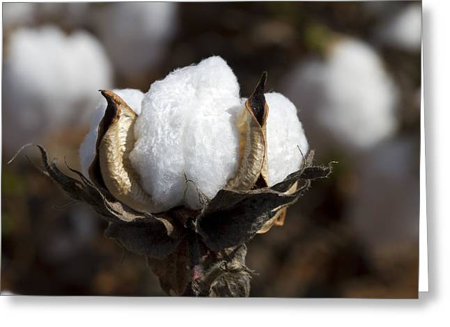 Harvestime Greeting Cards - Cotton Bolls Springing Forth Greeting Card by Kathy Clark
