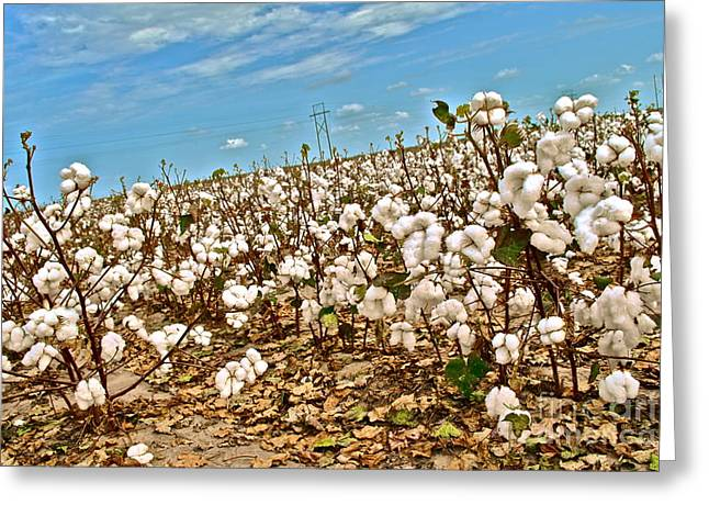 """cotton Field"" Greeting Cards - Cotton Eyed by Joe Greeting Card by Chuck Taylor"