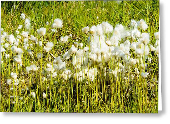 Jen Morrison Greeting Cards - Cotton Grass Greeting Card by Jen Morrison