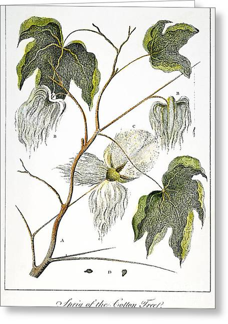 Negro Greeting Cards - Cotton Plant, 1796 Greeting Card by Granger