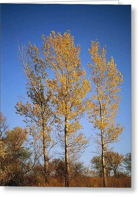 Plant Color Changes Greeting Cards - Cottonwood Trees Display Their Autumn Greeting Card by Joel Sartore