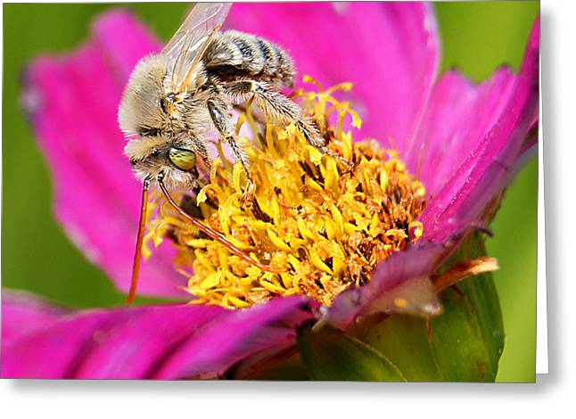 Wisconsin Wildflowers Greeting Cards - Covering the Cosmos Greeting Card by Bill Pevlor