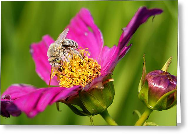 Wisconsin Wildflowers Greeting Cards - Covering the Cosmos II Greeting Card by Bill Pevlor