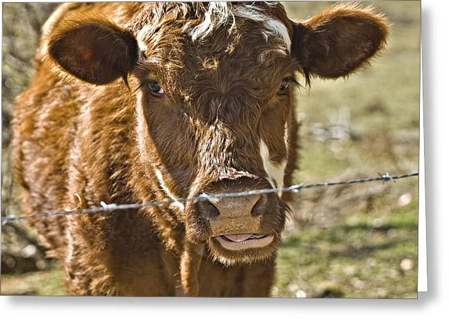 Susan Leggett Greeting Cards - Cow at the Fence Greeting Card by Susan Leggett