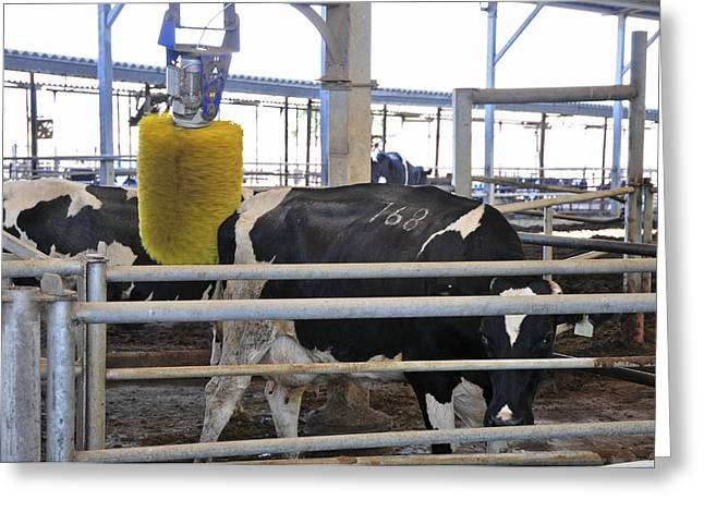 Cattle-shed Greeting Cards - Cow Brush Greeting Card by Photostock-israel