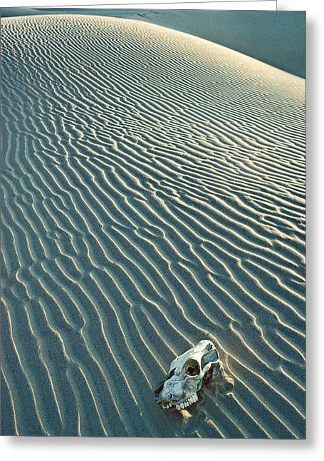 Forgotten Greeting Cards - Cow skull in dunes Greeting Card by Garry Gay
