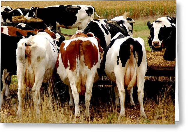 Barn Yard Greeting Cards - Cow Tails In Wisconsin Greeting Card by LeeAnn McLaneGoetz McLaneGoetzStudioLLCcom