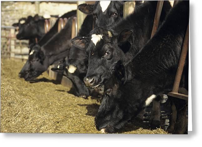 Cows Greeting Card by David Aubrey