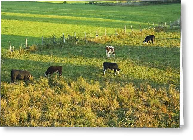 Domestic Cattle Greeting Cards - Cows Grazing In late Day Light On Farm Maine Greeting Card by Keith Webber Jr
