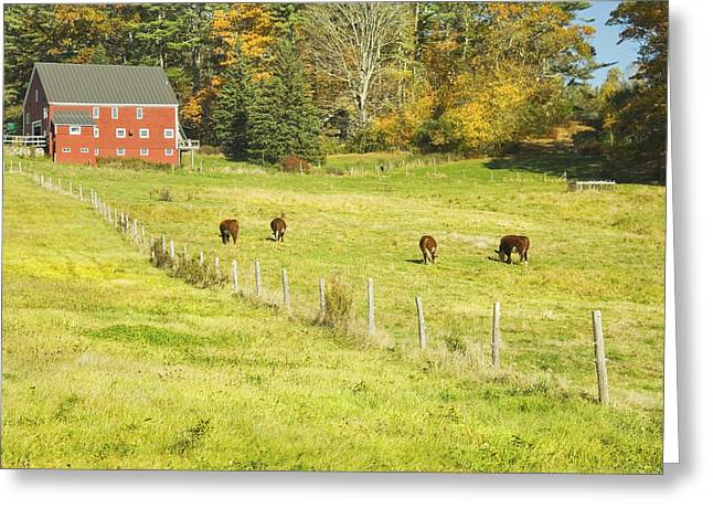 Domestic Cattle Greeting Cards - Cows Grazing On Grass In Farm Field Fall Maine Greeting Card by Keith Webber Jr