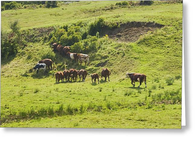 Domestic Cattle Greeting Cards - Cows Grazing On Grass In Farm Field Summer Maine Greeting Card by Keith Webber Jr