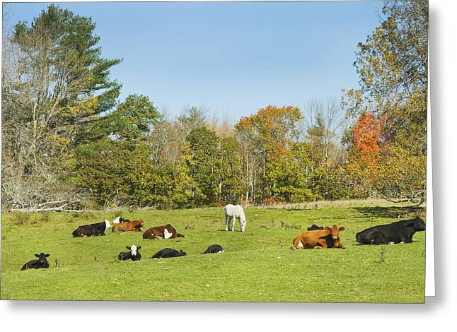 Domestic Cattle Greeting Cards - Cows Laying On Grass In Farm Field Autumn Maine Greeting Card by Keith Webber Jr