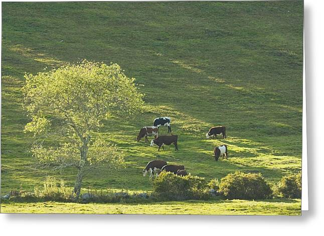 Domestic Cattle Greeting Cards - Cows On Hillside Summer In Maine Greeting Card by Keith Webber Jr