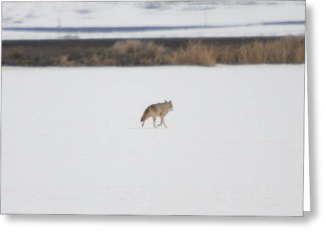 Dogs In Snow. Greeting Cards - Coyote - 0001 Greeting Card by S and S Photo