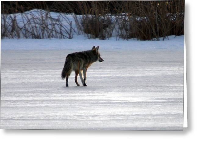 Dog In Snow Greeting Cards - Coyote - 0004 Greeting Card by S and S Photo