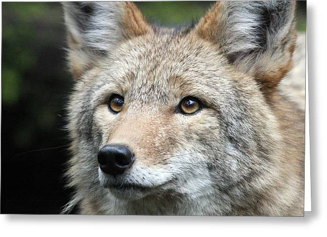 S And S Photo Greeting Cards - Coyote - 0031 Greeting Card by S and S Photo