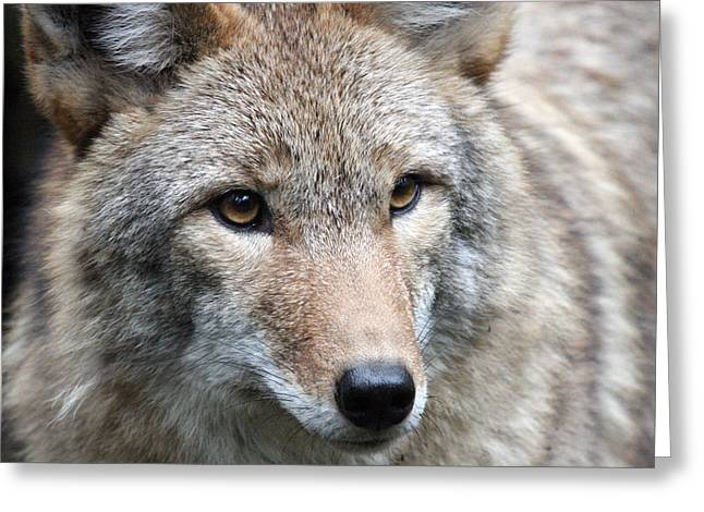 S And S Photo Greeting Cards - Coyote - 0034 Greeting Card by S and S Photo