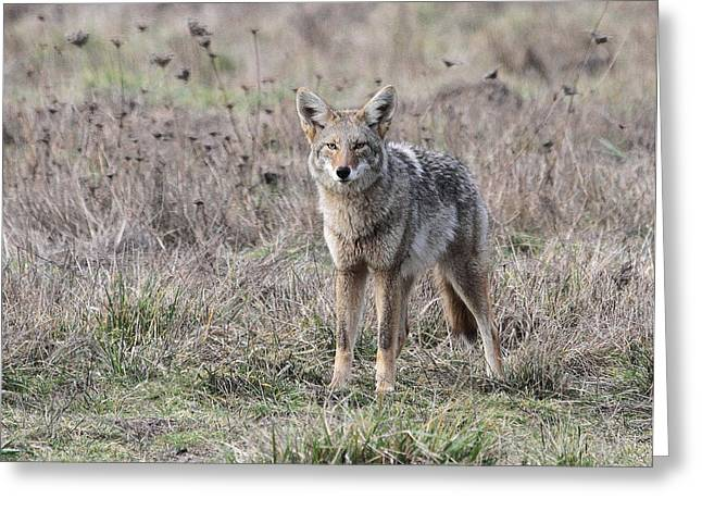Wildlife Refuge. Greeting Cards - Coyote Greeting Card by Angie Vogel