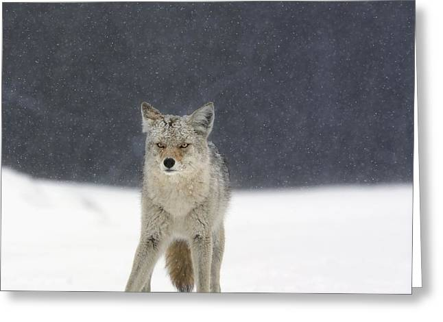 Sneaky Greeting Cards - Coyote Canis Latrans In Heavy Snowfall Greeting Card by Richard Wear