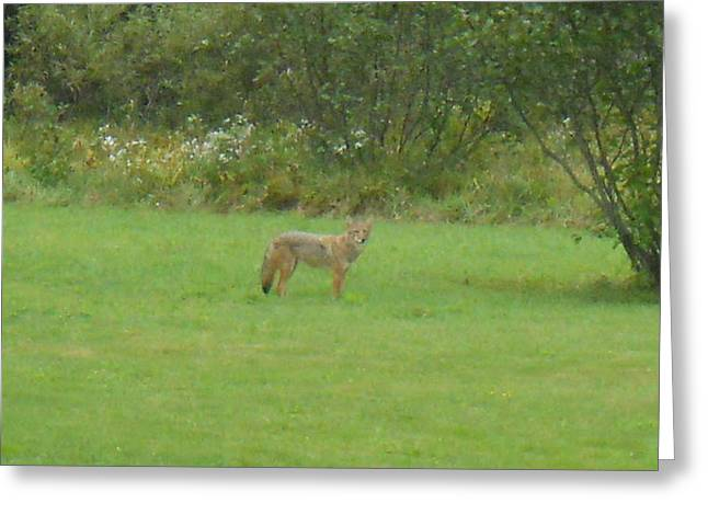 Maine Spring Pyrography Greeting Cards - Coyote in the yard  Greeting Card by Jeffrey Benedict