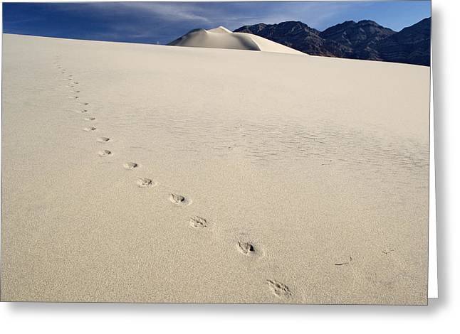 Animal Tracks Greeting Cards - Coyote Paw Prints Greeting Card by Bob Gibbons