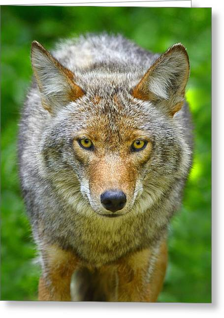 Coyote Greeting Card by Tony Beck