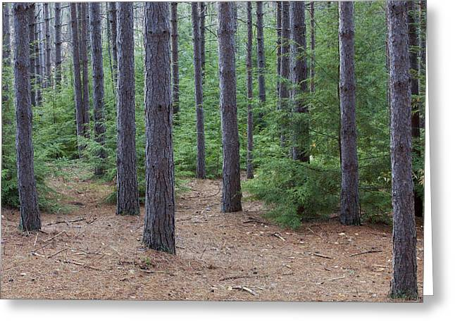 Pine Needles Greeting Cards - Cozy Conifer Forest Greeting Card by John Stephens