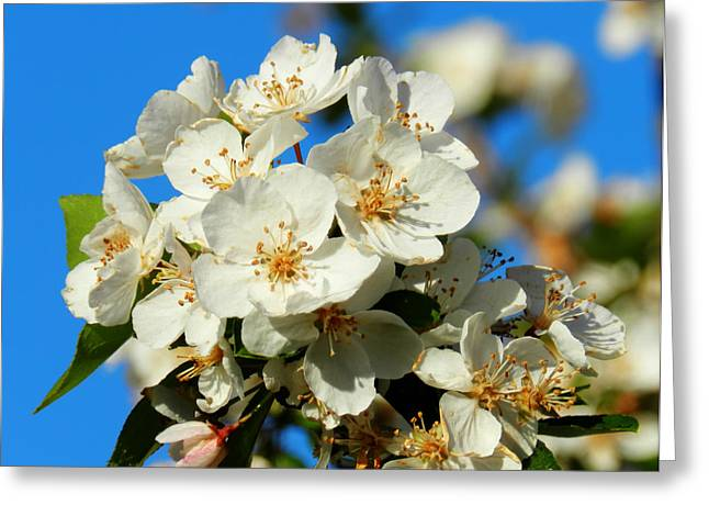 Crab Apple Blossom Macro 001 Greeting Card by Lance Vaughn
