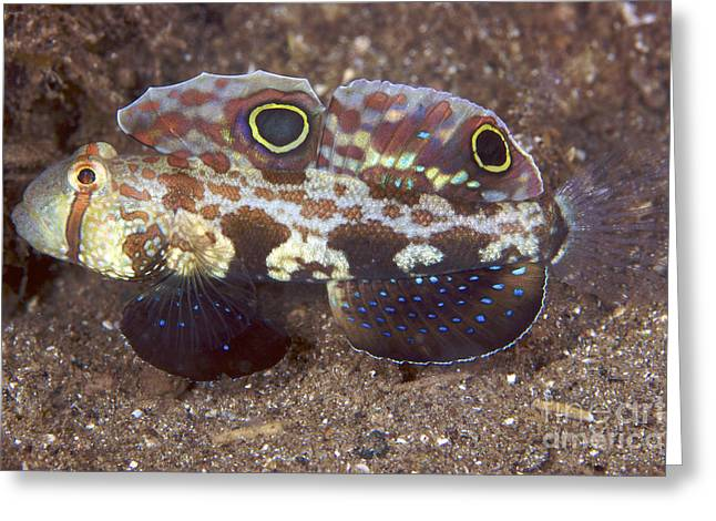 Goby Greeting Cards - Crab-eyed Goby Displaying Its Colorful Greeting Card by Terry Moore