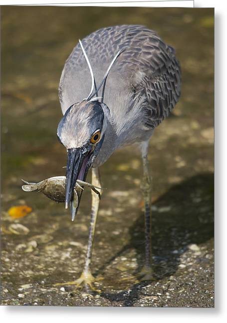 Egretta Tricolor Greeting Cards - Crab for Lunch Greeting Card by Wade Aiken