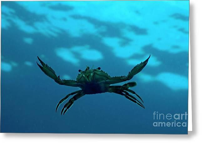 Sami Sarkis Photographs Greeting Cards - Crab swimming in the blue water Greeting Card by Sami Sarkis