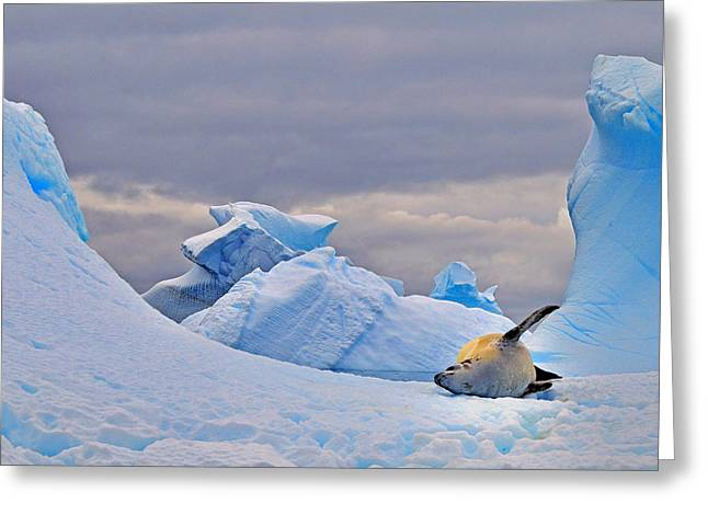 Antarctic Ocean Greeting Cards - Crabeater on Ice Greeting Card by Tony Beck
