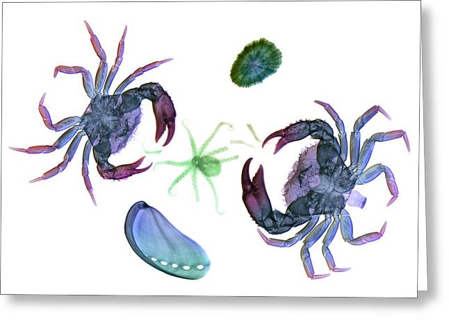 Marine Mollusc Greeting Cards - Crabs Attacking An Octopus Greeting Card by D. Roberts