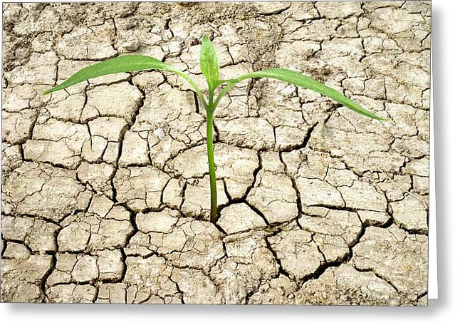 Arid Life Photographs Greeting Cards - Cracked Mud And Seedling Greeting Card by Victor De Schwanberg