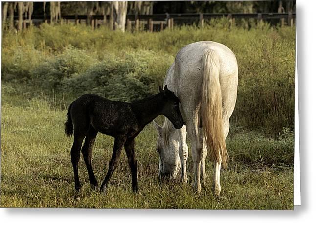 Lynn Palmer Greeting Cards - Cracker Foal and Mare Greeting Card by Lynn Palmer
