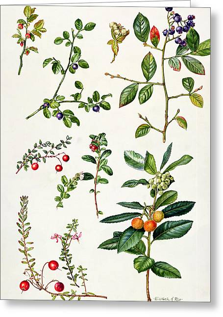 Cranberry And Other Berries Greeting Card by Elizabeth Rice