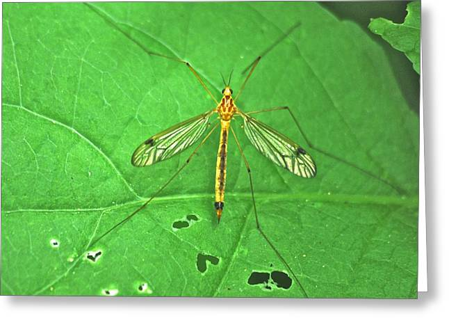 Mosquito Eater Greeting Cards - Crane Fly 7623 Greeting Card by Michael Peychich