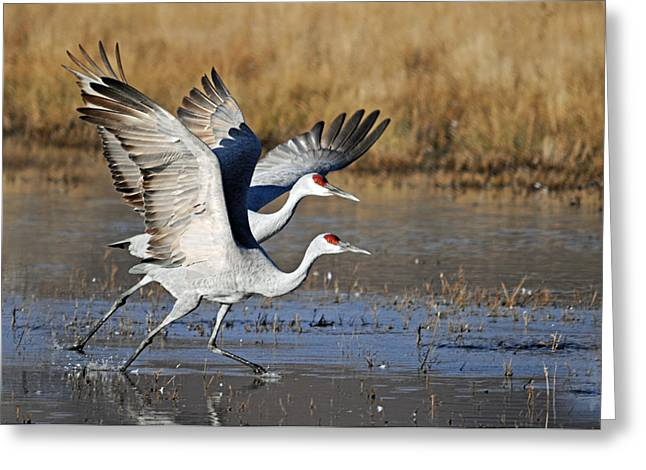 Sandhill Cranes Greeting Cards - Cranes Taking Off Greeting Card by Diana Douglass