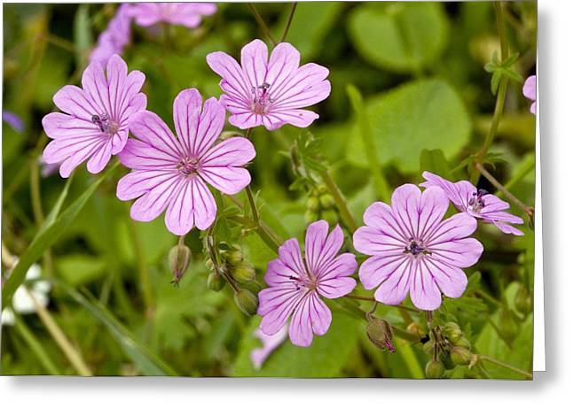 Geranium Flower Close Up Greeting Cards - Cranesbill (geranium Brutium) Greeting Card by Bob Gibbons
