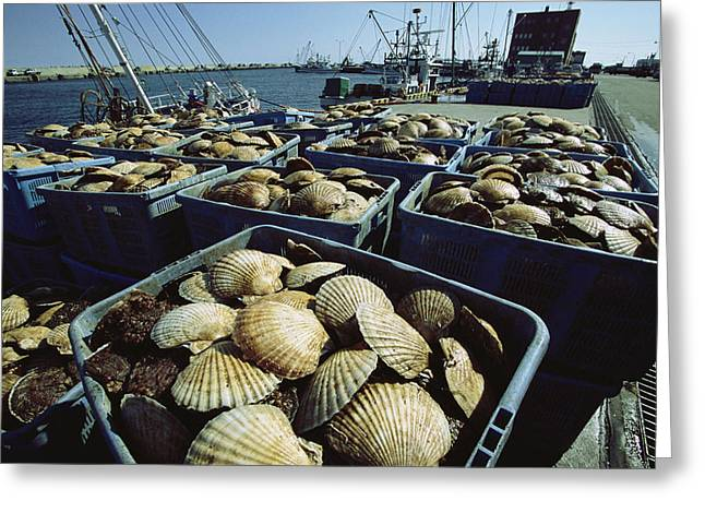Food Industry And Production Greeting Cards - Crates Filled With Scallops Sit Greeting Card by Tim Laman