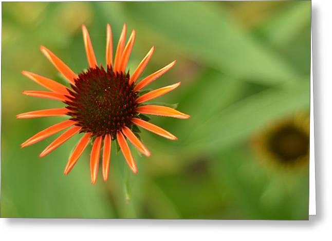 Crazy Coneflower Patch Greeting Card by Maria Suhr