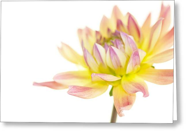 Dahlias Greeting Cards - Creamy Dahlia Greeting Card by Rebecca Cozart