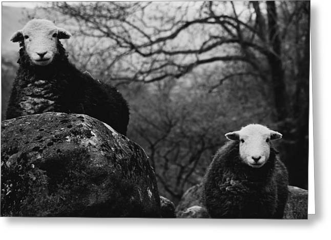 Beauty Art Greeting Cards - Creep Sheep Greeting Card by Justin Albrecht