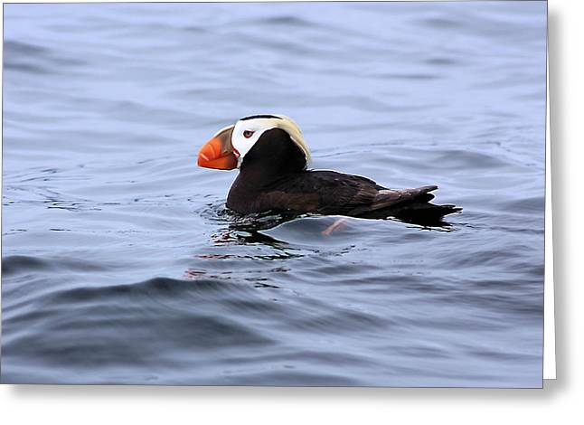 Seabirds Greeting Cards - Crested Puffin Greeting Card by Kristin Elmquist
