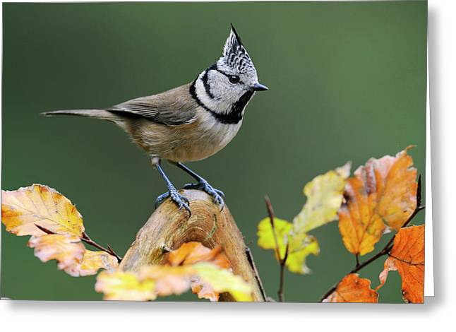Crested Tit Parus Cristatus, Veluwe Greeting Card by Do Van Dijck